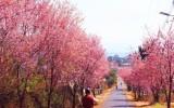 Tới Đà Lạt tháng 01 ngắm hoa Mai Anh tuyệt đẹp