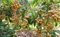 Biện pháp cải tạo đất phèn khi đã trồng nhãn?