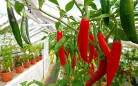 4 bước trồng ớt đơn giản hiệu quả