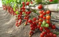 Trồng và chăm sóc cà chua