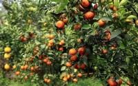 Kỹ thuật trồng và chăm sóc cam, quýt - Phần 1