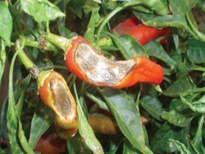 Sâu hại ớt và biện pháp phòng trị hiệu quả