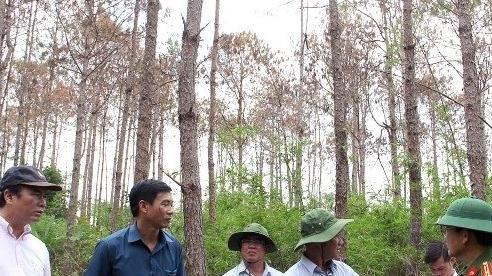 Cần 'thuốc đặc trị' bảo vệ những cánh rừng thông